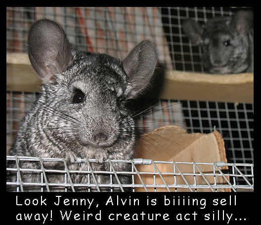 Sold Chinchilla