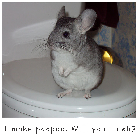 Chinchilla on the toilet