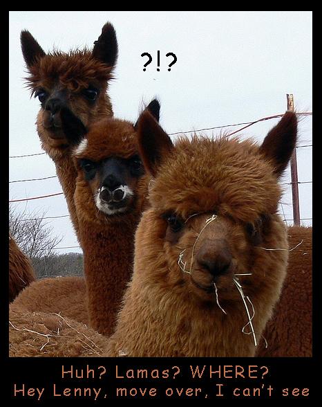 Silly Lamas