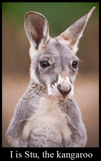 Stu, the Kangaroo