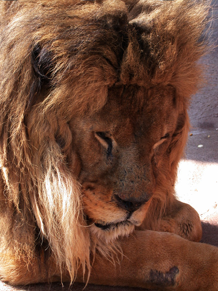 A Wild Soul - The Amazing Story of a Lion