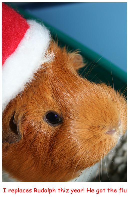 Guinea Pig as Rudolph
