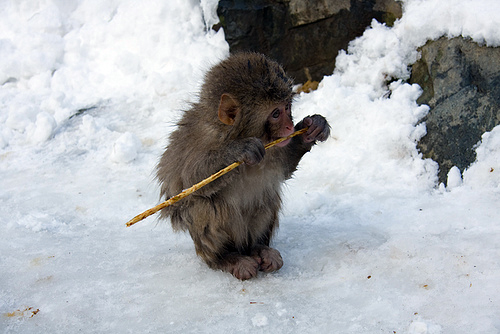 Baby Monkey with a Stick