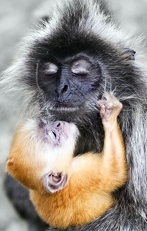 Silverleaf Monkey with Baby