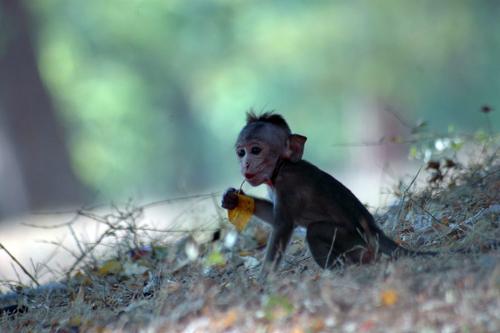 Baby Monkey Holding a Leaf