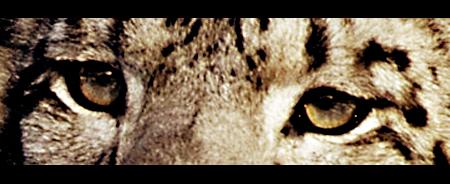 big cat1