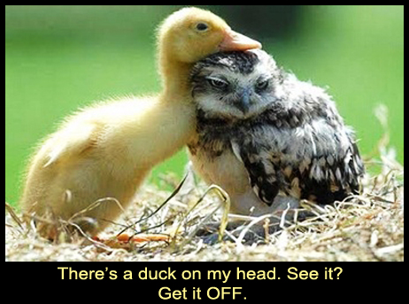 Owl with a Duck on the Head