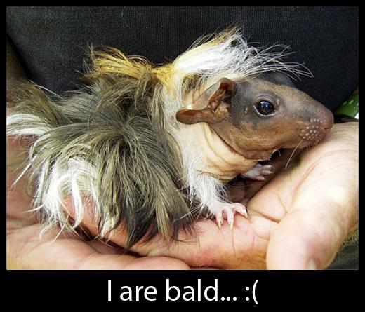 Celtic Realm - Bald Guinea Pig