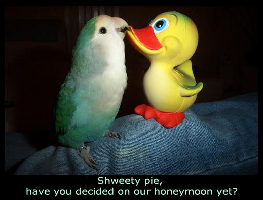 Budgie Planning the Honeymoon