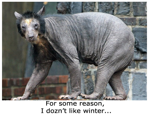 Weird Bald Bear