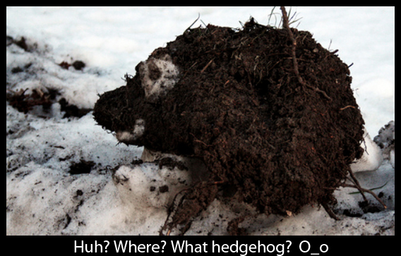 Picture of Camouflaged Hedgehog - Weird Behaviour in Winter