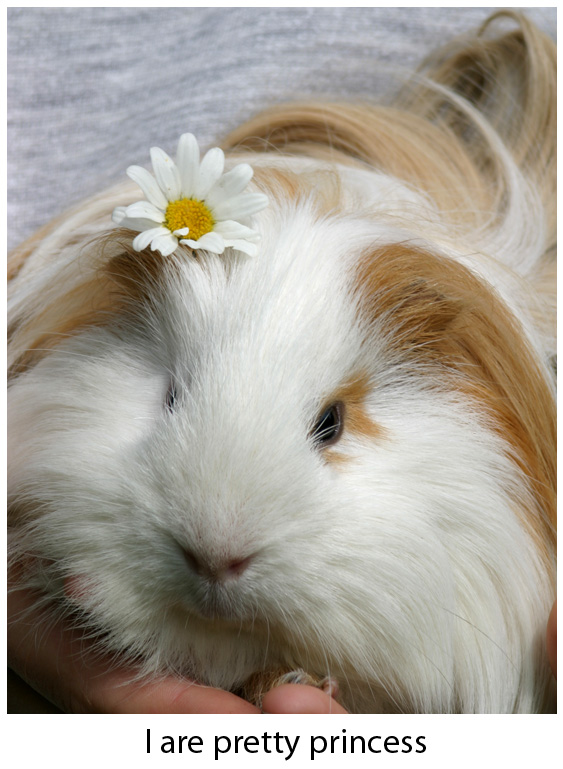 The Pretty Princess - Cute Guinea Pig Picture