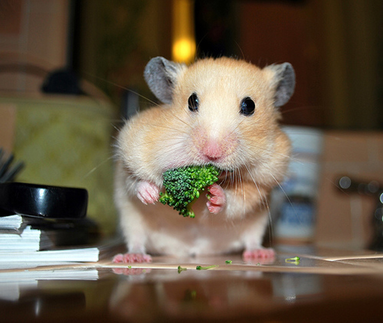 Adorable Hamsters Stuffing Food - Cute and Funny Pictures11
