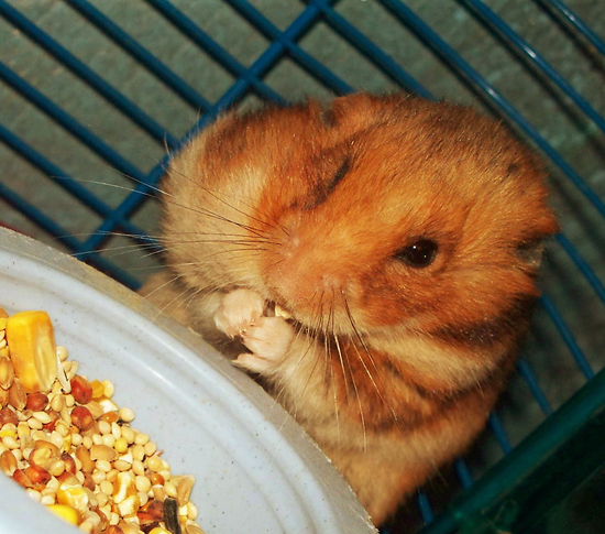 Adorable Hamsters Stuffing Food - Cute and Funny Pictures13