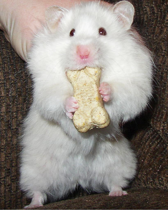 Adorable Hamsters Stuffing Food - Cute and Funny Pictures14