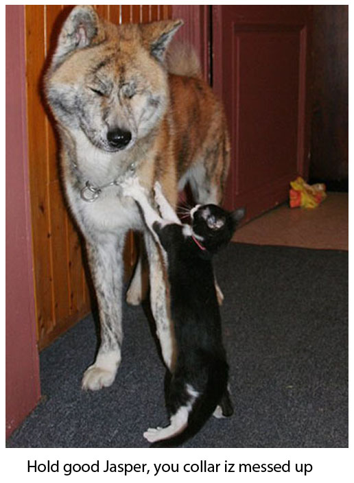 Cat Arranges Dog's Collar - Cute Funny Picture