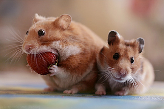 Adorable Hamsters Stuffing Food - Cute and Funny Pictures2