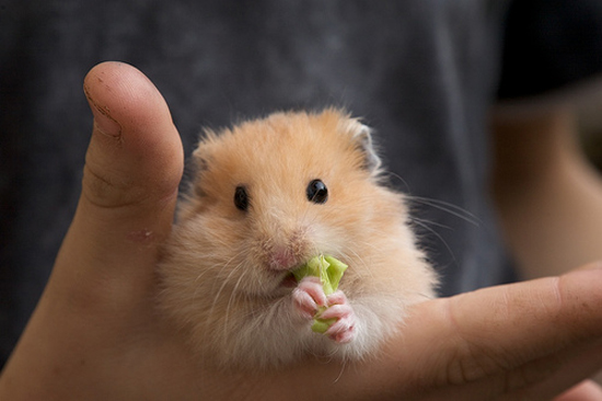 Adorable Hamsters Stuffing Food - Cute and Funny Pictures5