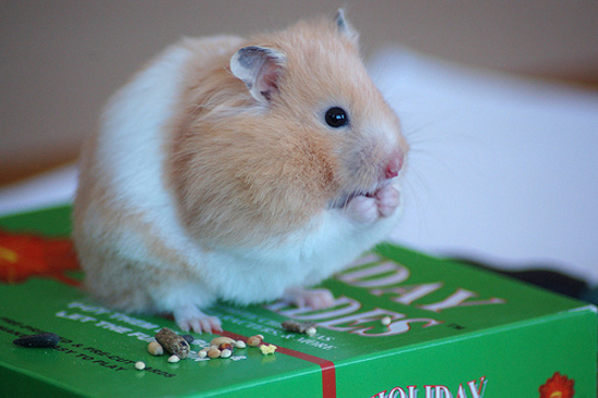 Adorable Hamsters Stuffing Food - Cute and Funny Pictures9