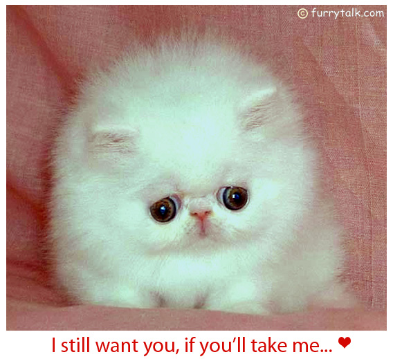 I Want You Back - Adorable Round and White Kitten Postcard