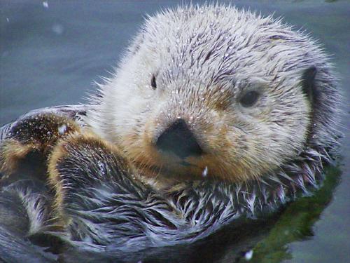 VanAqua Otter