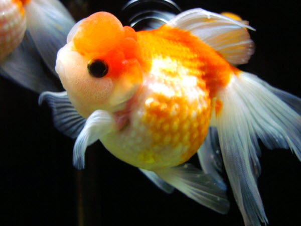 Cheesepuff Fish