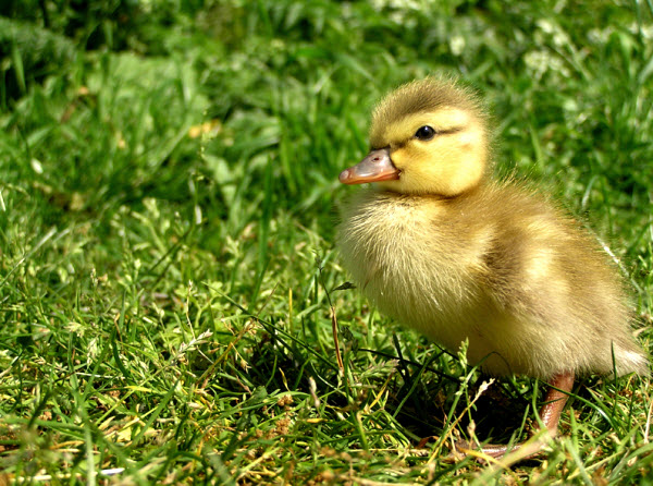 Cute little duck - photo#18