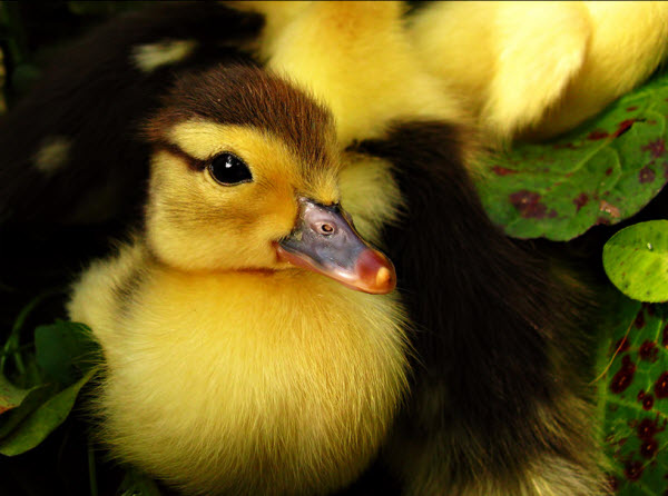Duckling and puppy