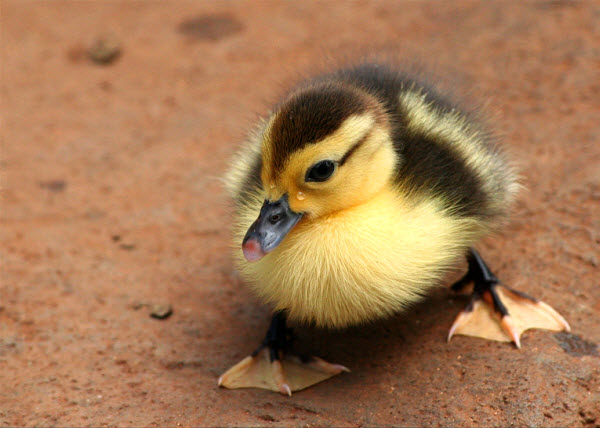 Cute little duck - photo#8