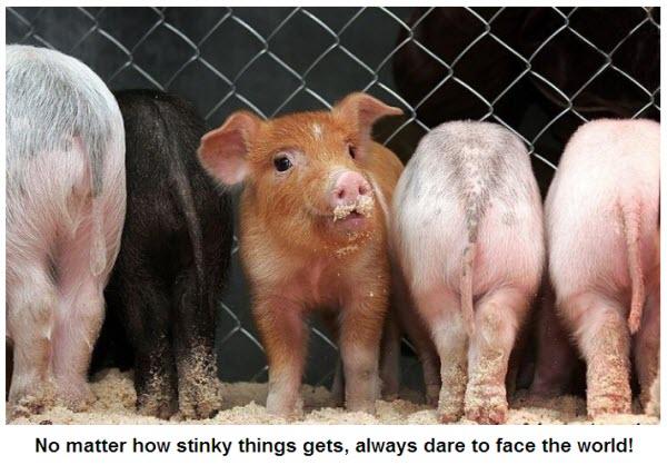Worlds cutest piglet - photo#22