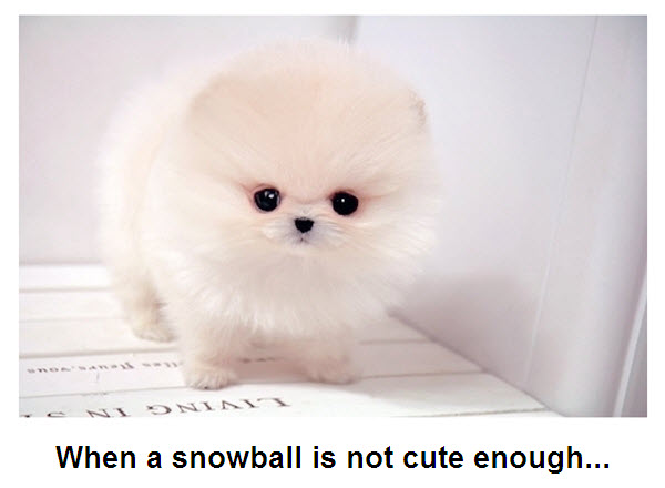 snowball puppy extremely adorable dog picture furry talk