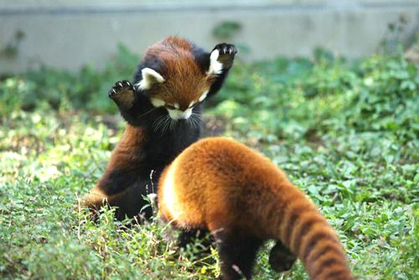 the 10 most adorable red pandas cute photos furry talk