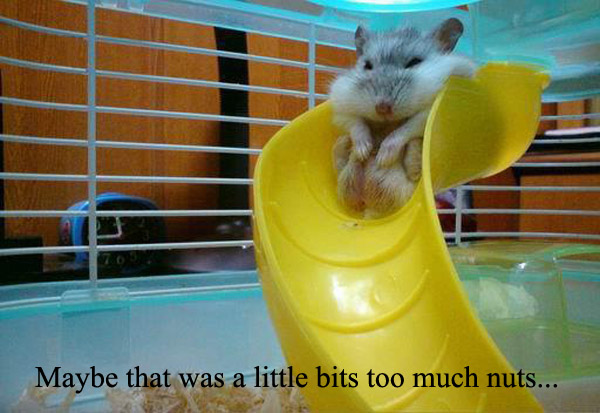 Chubby Hamster Trying to Slide [funny photo]