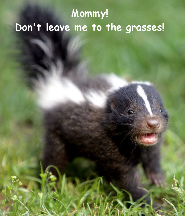 Cute Baby Skunk photo