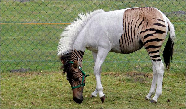 A Cute Zorse [weird animal photo]