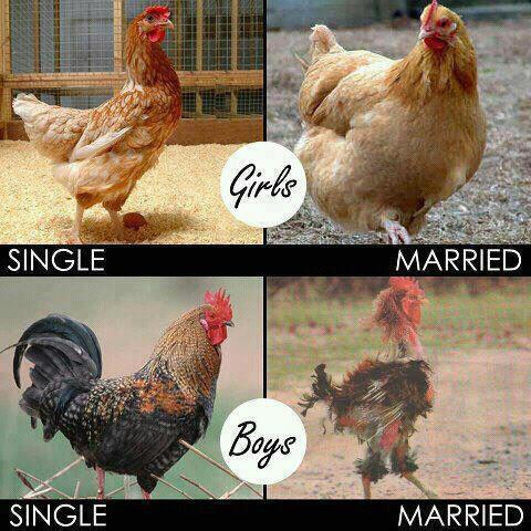 Rooster and Hen Marital Status [funny photo]