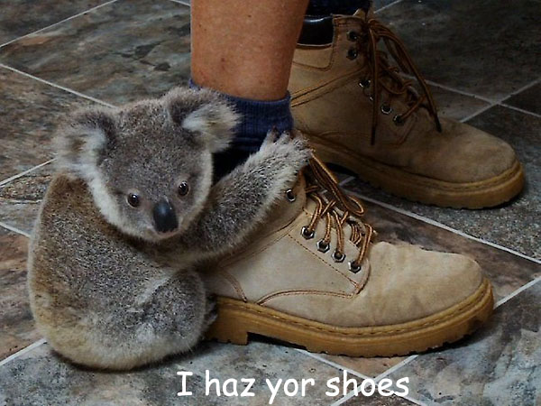 Koala Baby Has Your Shoe [cute picture]