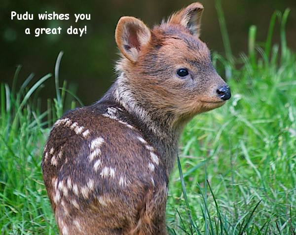 A Cute Pudu for a Great Day! [photo]