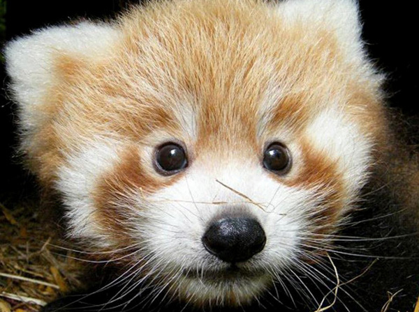 Cute Red Panda Babies [photos]1