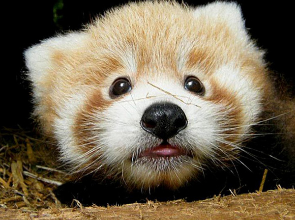 Cute Red Panda Babies [photos]2