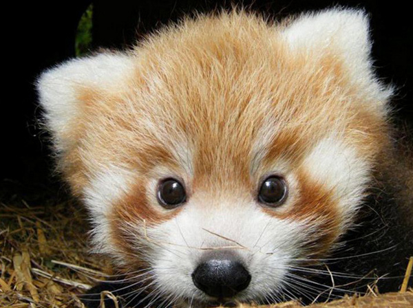 Cute Red Panda Babies [photos]3