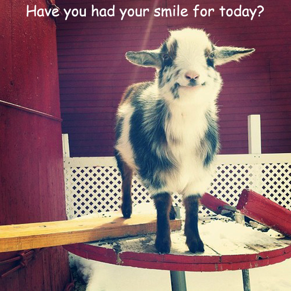 Smiling Baby Goat [cute photo]