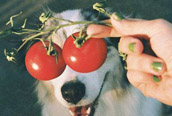 Funny Tomato Dog [cute photo]