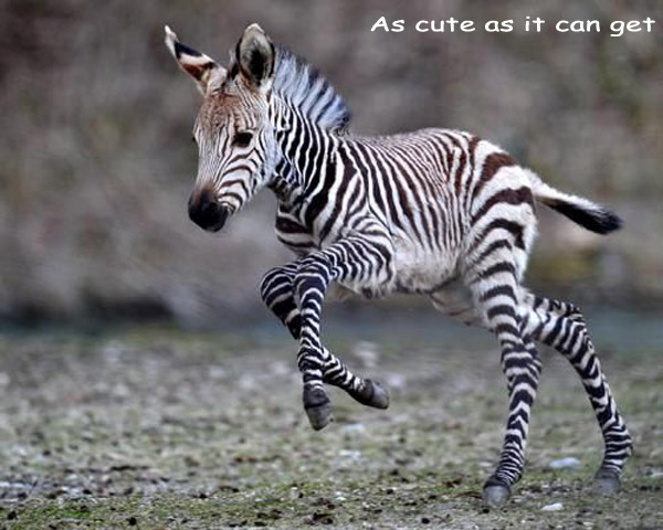 Adorable Baby Zebra [photography]