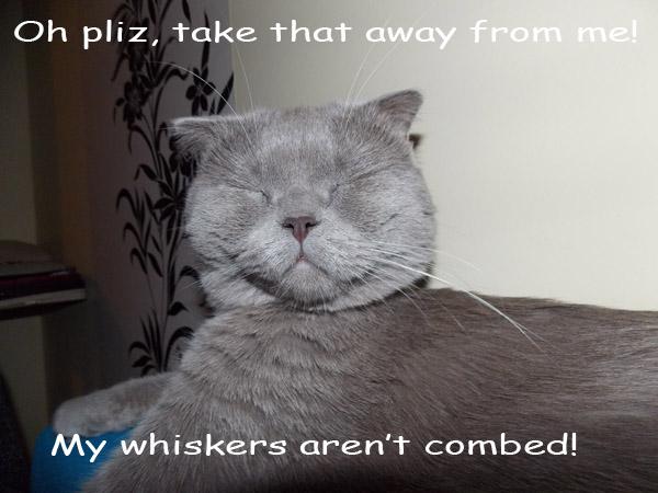 In the Spotlight [cute Scottish Fold cat]
