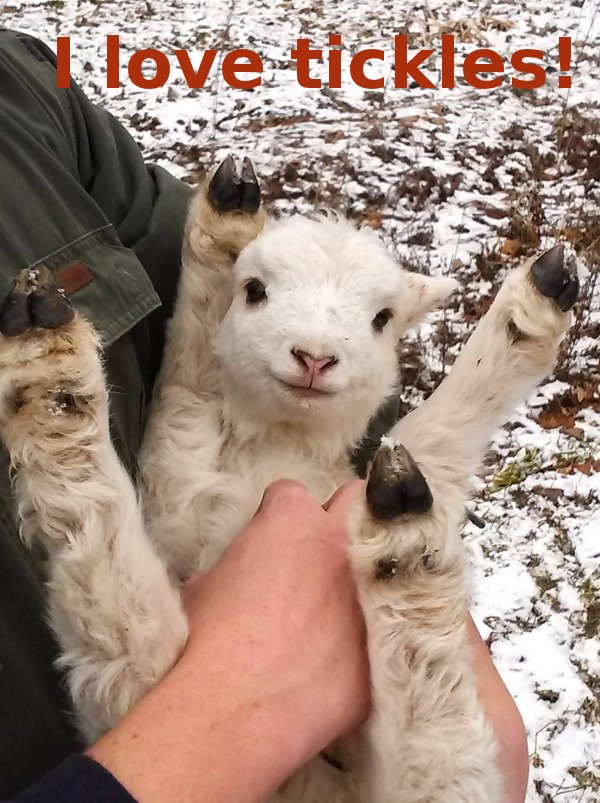 Baby Goat Loves Attention [cute photo]