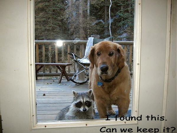 Dog Brings Home a Raccoon [cute photo]