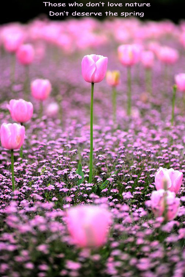 Pink Tulips in Spring [photography]