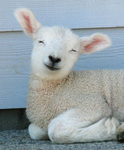 Funny Little Lambs1 [cute photos]