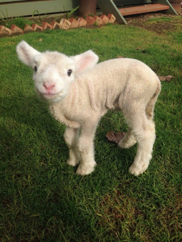 Funny Little Lambs5 [cute photos]